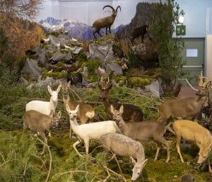 Diorama Tassidermia Fauna Selvatica - Vaia